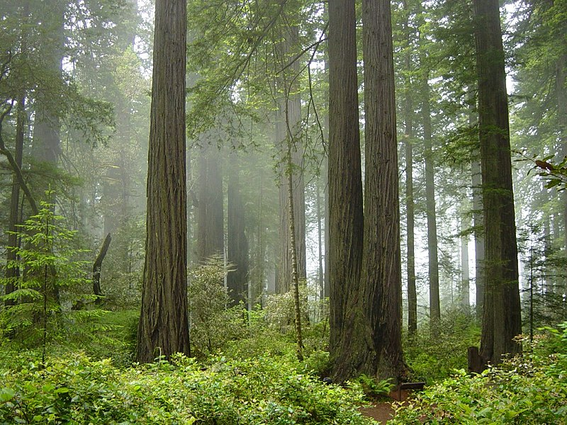 800px-Redwood_National_Park,_fog_in_the_forest