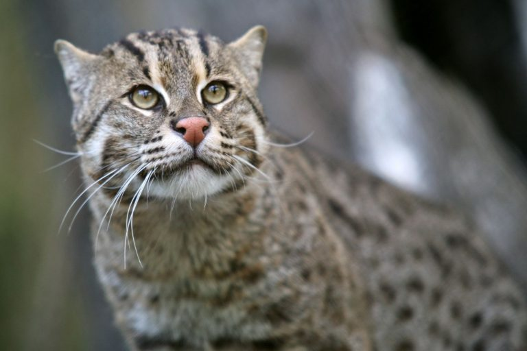 معلومات وصور عن القط السماك - استراحه