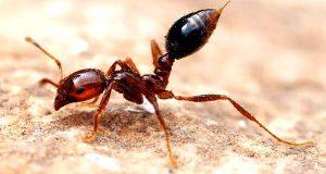 أخطر-10-أنواع-من-النمل-في-العالم-8